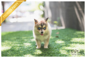 (SOLD Gallo)Alaska - Pomsky. M - Rolly Teacup Puppies - Rolly Pups