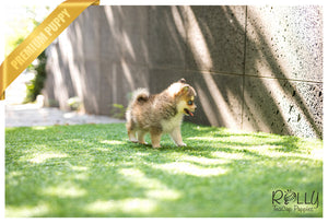 (SOLD Gallo)Alaska - Pomsky. M - Rolly Teacup Puppies
