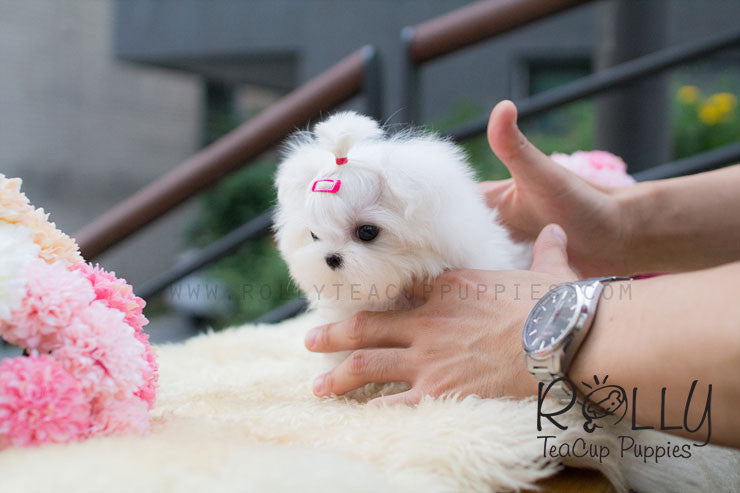 Alice - Maltese - Rolly Teacup Puppies