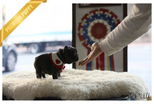 (Purchased by Antonova) Aloha - French. F - Rolly Teacup Puppies