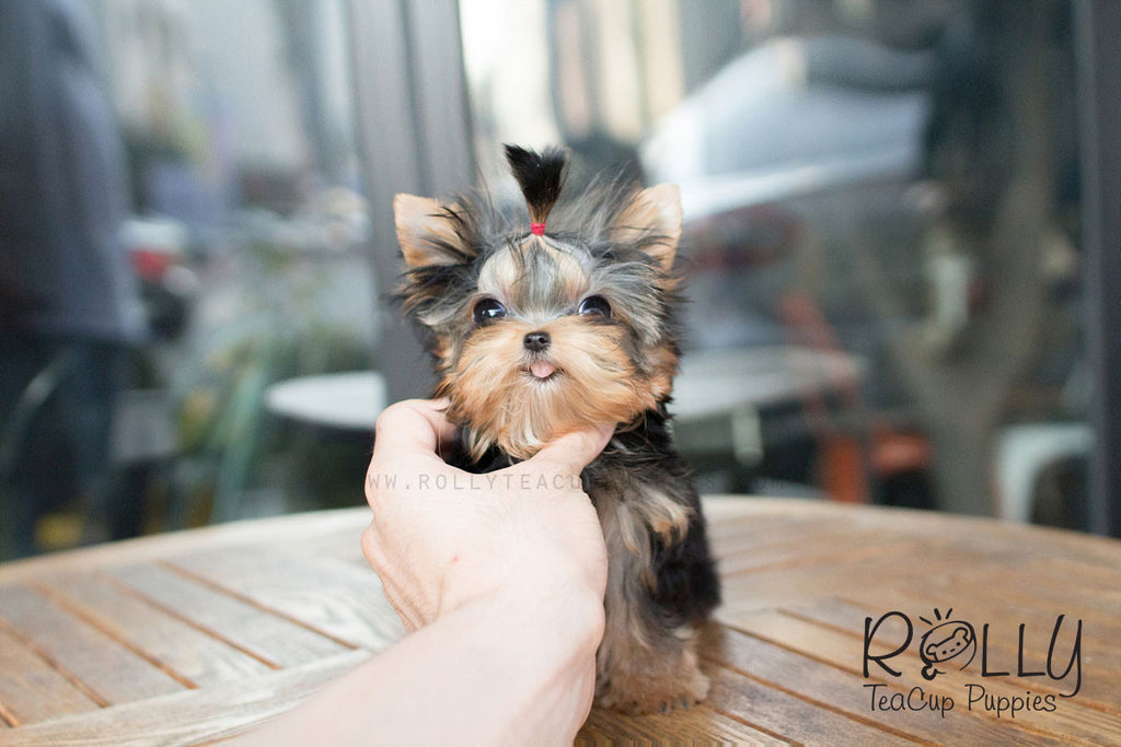 Amber - Yorkie - Rolly Teacup Puppies - Rolly Pups
