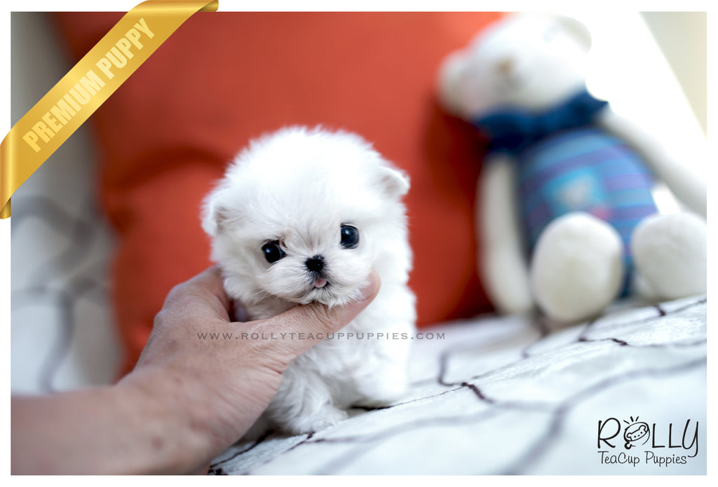 (SOLD to Stepp) Angel - Maltese. F - Rolly Teacup Puppies - Rolly Pups
