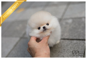 (Purchased by Benavides) Anjou - Pomeranian. M - Rolly Teacup Puppies
