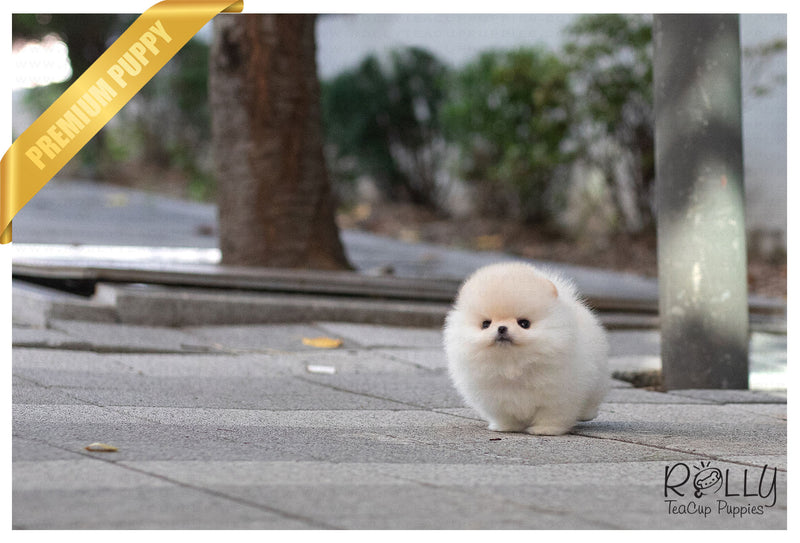 (Purchased by Benavides) Anjou - Pomeranian. M