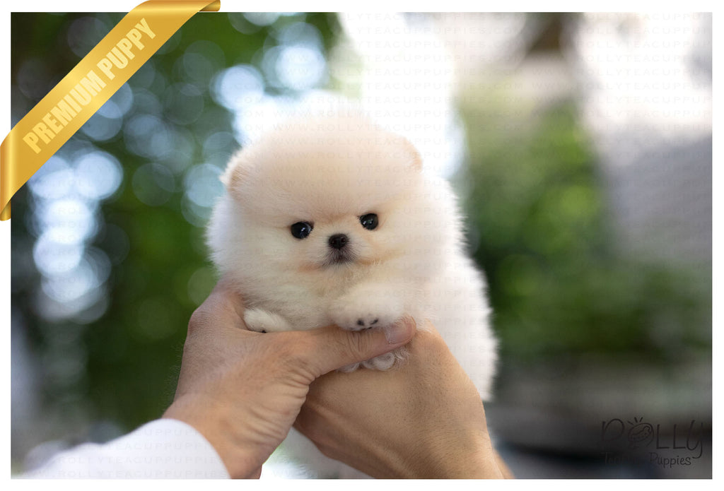 (Purchased by Benavides) Anjou - Pomeranian. M - ROLLY PUPS INC