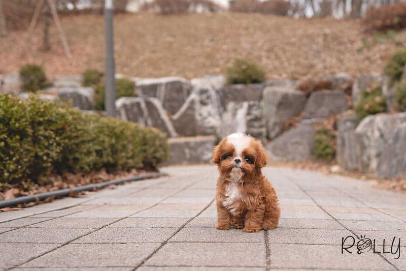 APOLLO - Cavapoo. M - ROLLY PUPS INC