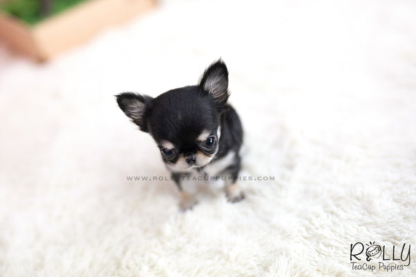 (SOLD to Ash) Apple - Chihuahua. F