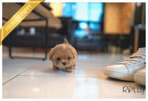 (PURCHASED by Goble) APPLE - Maltipoo. F - ROLLY PUPS INC