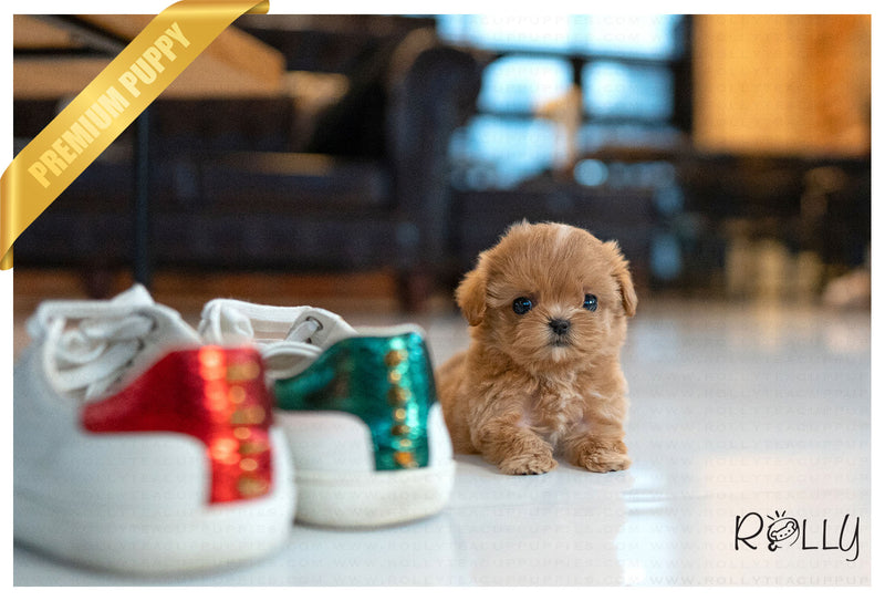 (RESERVED by Goble) APPLE - Maltipoo. F - Rolly Teacup Puppies - Rolly Pups