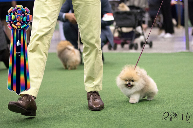 (Purchased by a VIP) Apple - Pomeranian. M - Rolly Teacup Puppies - Rolly Pups