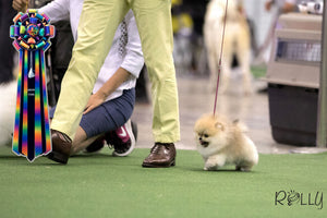 (Purchased by a VIP) Apple - Pomeranian. M - Rolly Teacup Puppies