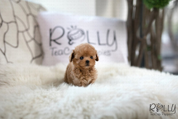 (SOLD to Mannino) Apple - Poodle. F - Rolly Teacup Puppies