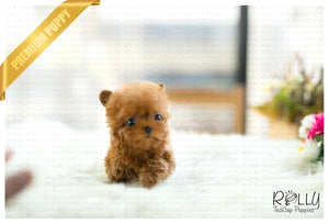 (SOLD to Mercey) Apple - Poodle. F - Rolly Teacup Puppies