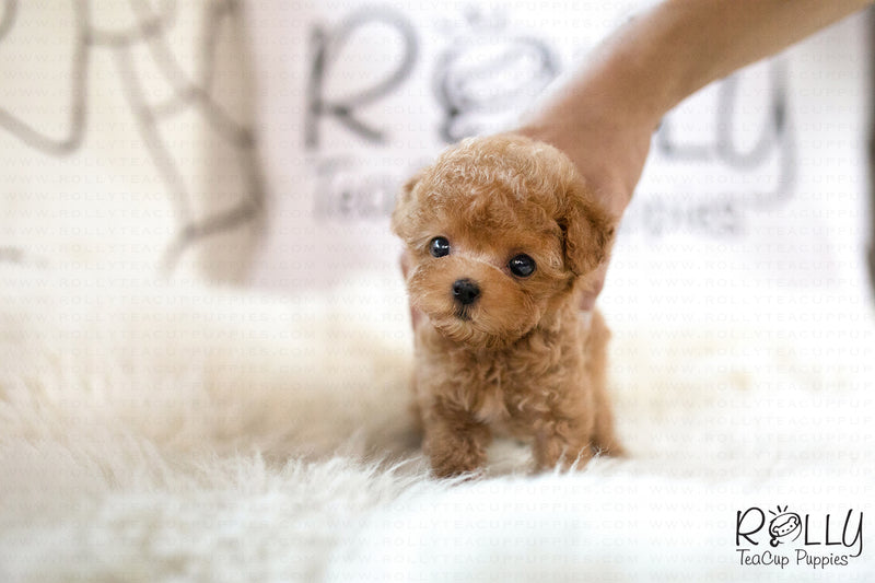(SOLD to Mannino) Apple - Poodle. F - Rolly Teacup Puppies - Rolly Pups