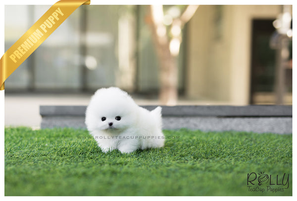 (SOLD to Rique) Ariel - Pomeranian. F - Rolly Teacup Puppies