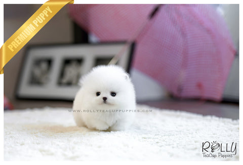 (Reserved to Rique) Ariel - Pomeranian. F