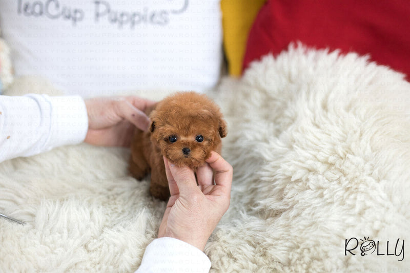 (Purchased by Salishcheva) Ariel - Poodle. F - Rolly Teacup Puppies