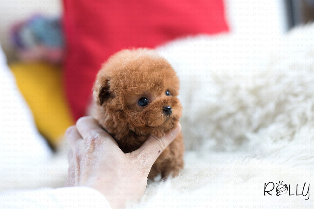 (Purchased by Salishcheva) Ariel - Poodle. F - ROLLY PUPS INC