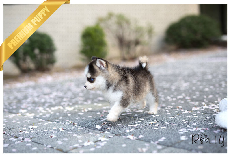 (Purchased by Tieu)Artic - Pomsky. M - Rolly Teacup Puppies