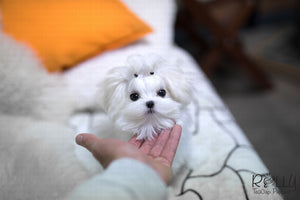 (Purchased by Burroughs) Aspen - Maltese. M - Rolly Teacup Puppies