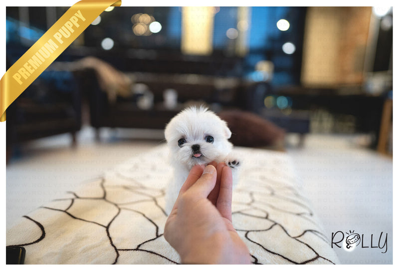 (PURCHASED by Landino) ASPEN - Maltese. M - Rolly Teacup Puppies - Rolly Pups