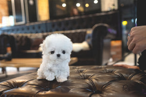 (Purchased by Smith)Aspen - Maltese. M - Rolly Teacup Puppies