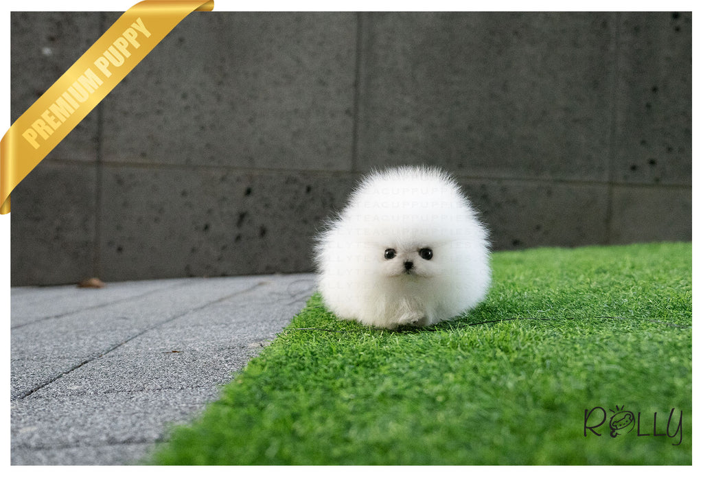 (Purchased by Braghirol) Aspen - Pomeranian. F - Rolly Teacup Puppies