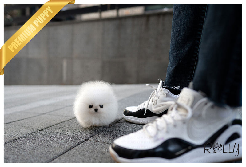 (Purchased by Braghirol) Aspen - Pomeranian. F