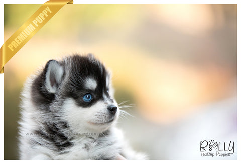 (RESERVED to Sada) Atlas - Pomsky. M