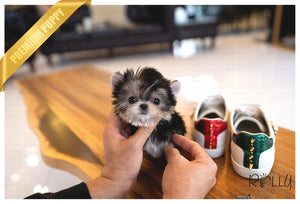 (PURCHASED by LOPEZ) ATOM - Morkie. M - Rolly Teacup Puppies - Rolly Pups
