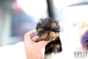 (SOLD to Sparrow) Atom - Yorkie. M - Rolly Teacup Puppies - Rolly Pups