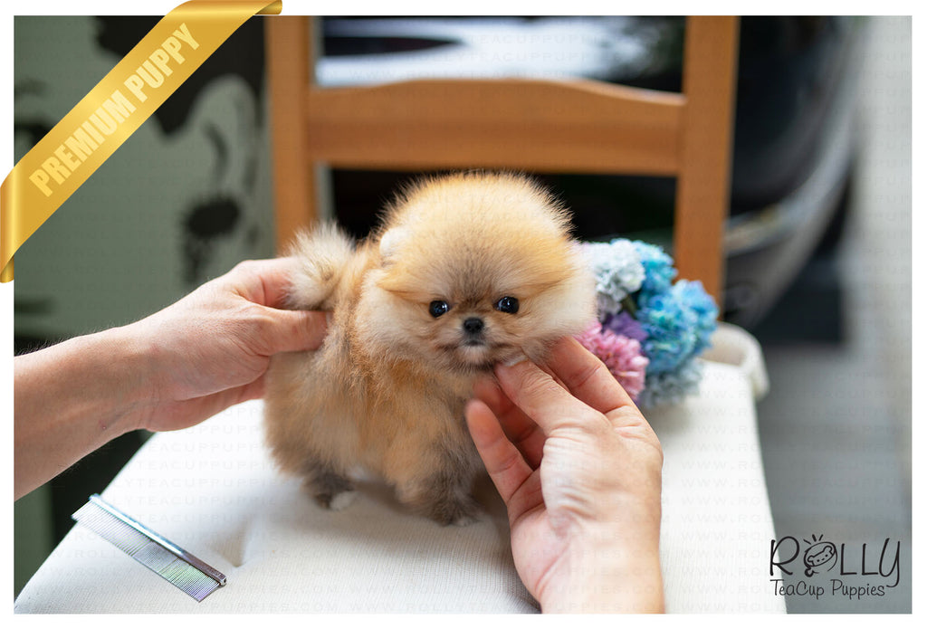 (Purchased by Xuan) Autumn - Pomeranian. F - ROLLY PUPS INC