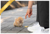 (Purchased by Xuan) Autumn - Pomeranian. F - Rolly Teacup Puppies