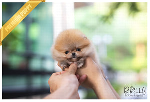 (Purchased by Xuan) Autumn - Pomeranian. F - Rolly Teacup Puppies - Rolly Pups