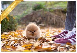 (PURCHASED by Lee) AUTUMN - Pomeranian. M - Rolly Teacup Puppies - Rolly Pups