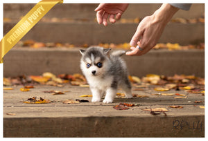 (Purchased by Murati) Azura - Pomsky. F - Rolly Teacup Puppies
