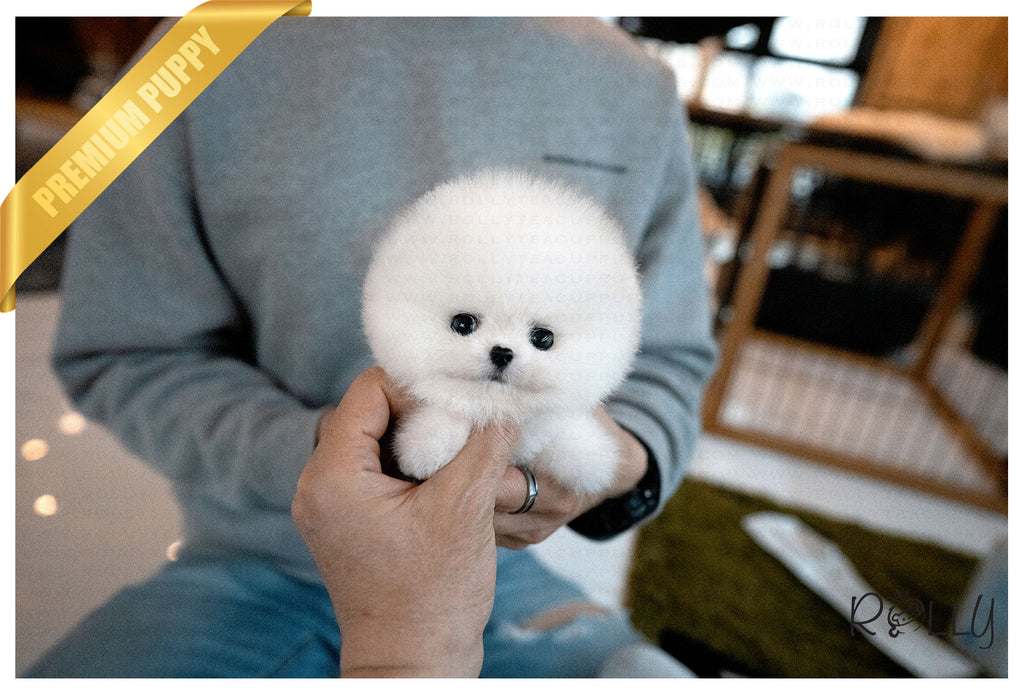 (Purchased by Palacios) COTTON - Pomeranian. M - Rolly Teacup Puppies - Rolly Pups