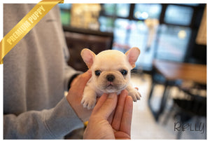 (Purchased by Dickson) BENNIE - French. M - Rolly Teacup Puppies - Rolly Pups