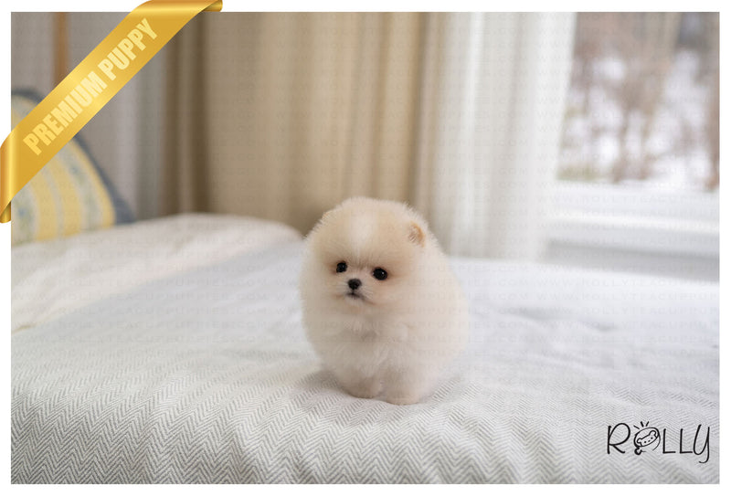 (PURCHASED by YJ) BISCOTTI - Pomeranian. F - Rolly Teacup Puppies - Rolly Pups