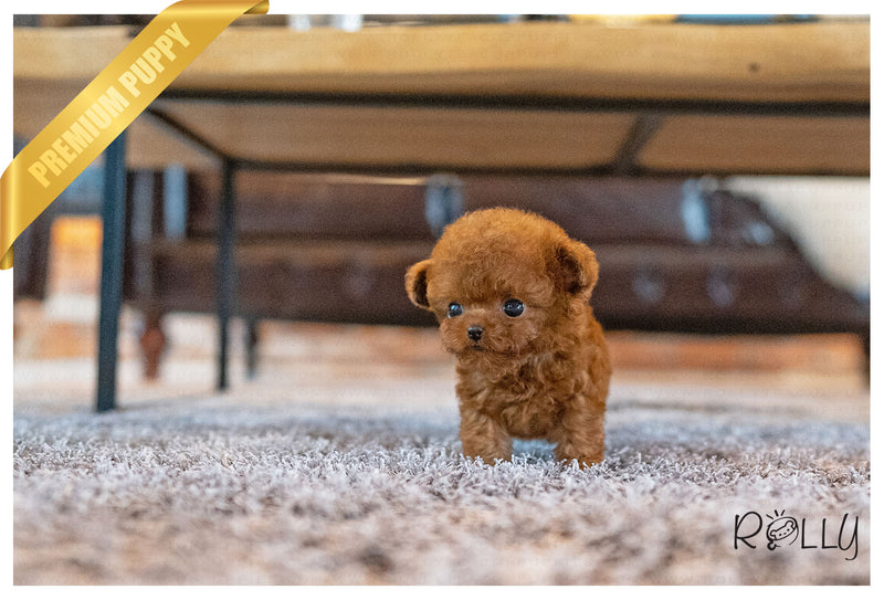 (PURCHASED by Smith) BOMI - Poodle. F - ROLLY PUPS INC