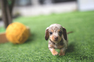 (Purchased by Souza) Brownie - Dachshund. F - Rolly Teacup Puppies