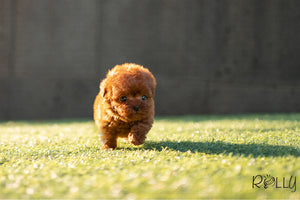 (Puchased by Pastor) Roo - Poodle. F - Rolly Teacup Puppies - Rolly Pups