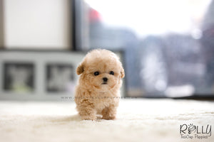 (SOLD to Mohsin) Bagel - Poodle. F - Rolly Teacup Puppies