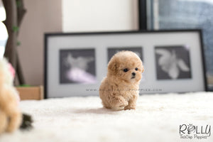 (SOLD to Mohsin) Bagel - Poodle. F - Rolly Teacup Puppies - Rolly Pups