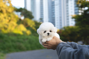 (Purchased by Latipova) Bailey - Bichon. M - Rolly Teacup Puppies