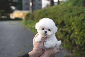 (Purchased by Latipova) Bailey - Bichon. M - ROLLY PUPS INC