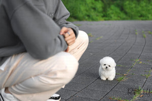 (Reserved by Latipova)Bailey - Bichon. M - Rolly Teacup Puppies