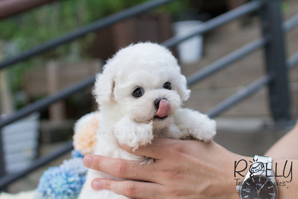 Bailey - Bichon - Rolly Teacup Puppies