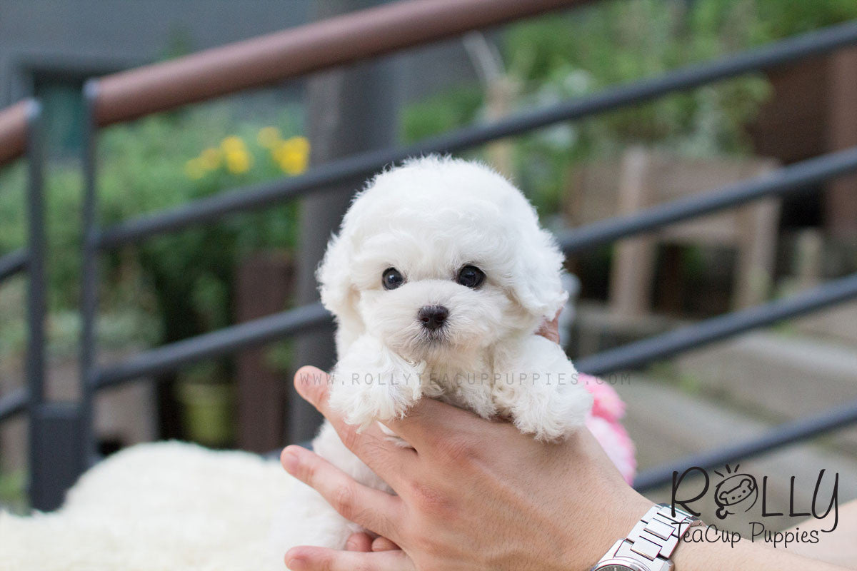 American Express Near Me >> Bailey - Bichon– Rolly Teacup Puppies