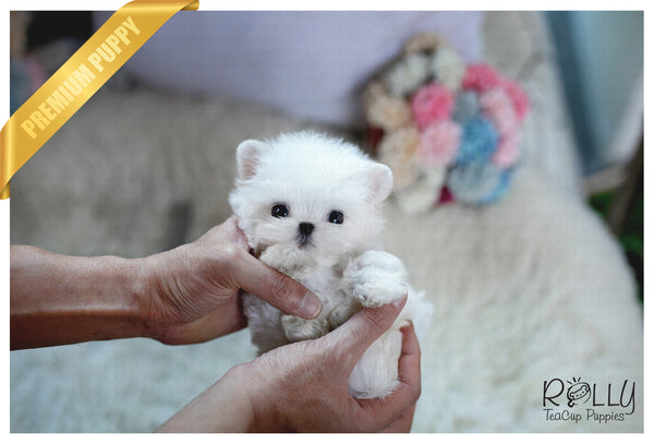 (Purchased by Fraughton) Bailey - Maltese. M - Rolly Teacup Puppies